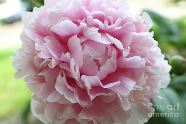 Photograph - Light Pink Peony by Carol Groenen