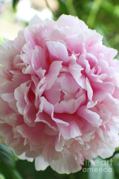 Photograph - Light Pink Peony Vertical by Carol Groenen