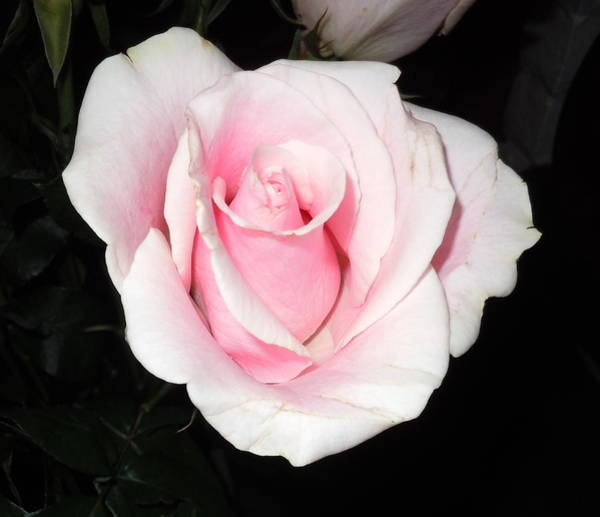 Photograph - Light Pink Rose by Karen J Shine