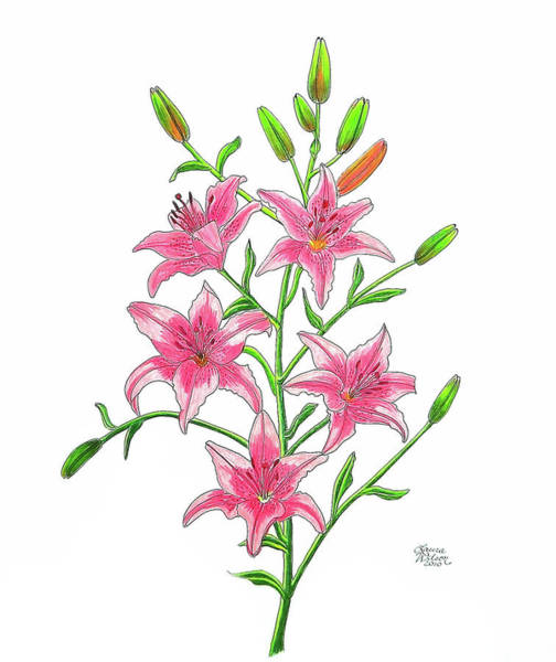 Tigerlily Wall Art - Drawing - Light Pink Tiger Lily by Laura Wilson