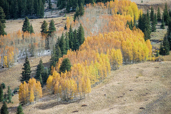 Photograph - Light Snow On Aspen by Stephen Holst