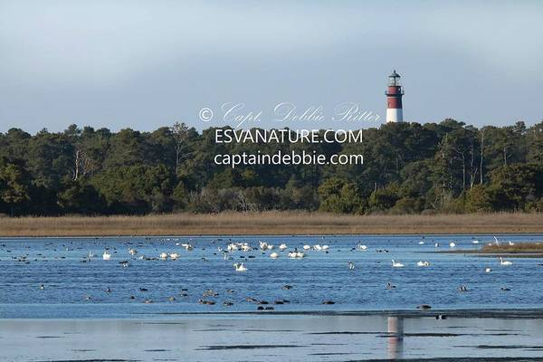 Photograph - Lighthouse Reflection With Swans 2 by Captain Debbie Ritter