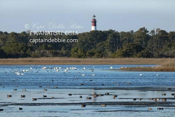 Photograph - Lighthouse Reflection With Swans 3 by Captain Debbie Ritter