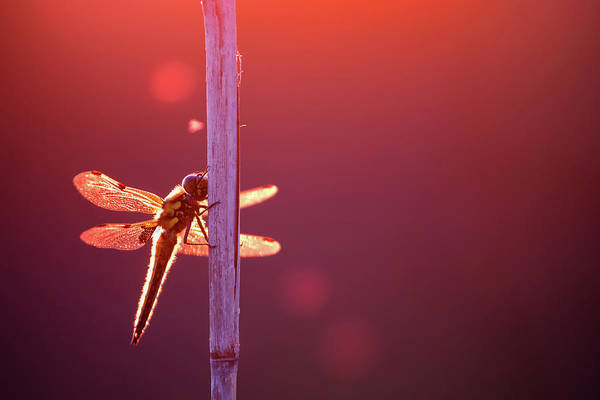 Wing Back Wall Art - Photograph - Like A Fairy by Roeselien Raimond