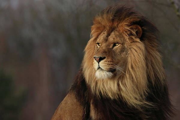 Photograph - Like A Lion In The Evening Sun by Tazi Brown