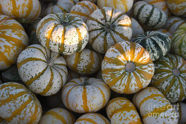 Cucurbitaceae Photograph - Lil Tiger Stripe Pumpkins by Inga Spence