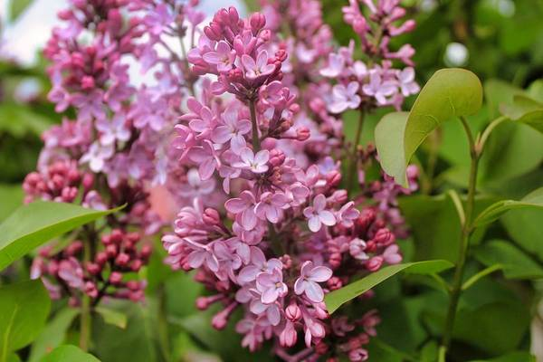 Photograph - Lilac Bloom by Brian Eberly