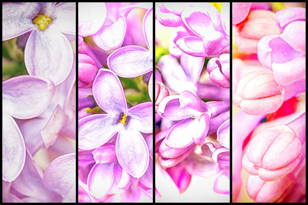 Photograph - Lilac Bouquet Quadtych One by John Williams