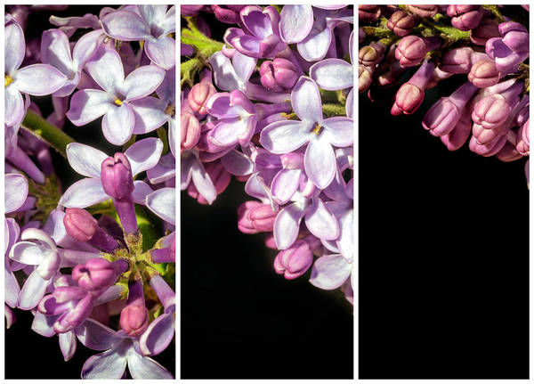 Photograph - Lilac Bouquet Triptych One by John Williams