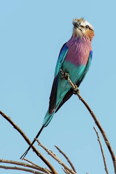 Photograph - Lilac Breasted Roller On Alert by Kay Brewer