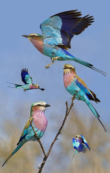In Flight Photograph - Lilac-breasted Roller Collage by Basie Van Zyl