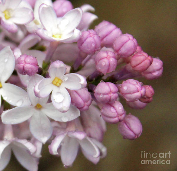 Photograph - Lilac Buds And Blooms by Ann E Robson