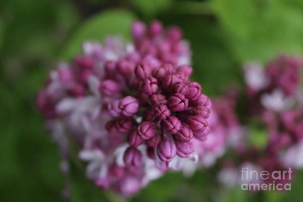 Photograph - Lilac Buds by Ann E Robson