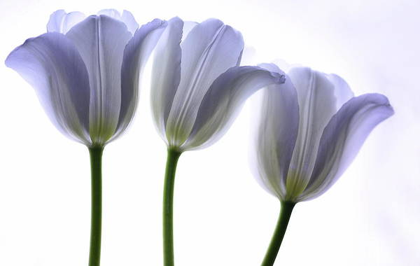 Purple Tulip Photograph - Lilac Chiffon by Rebecca Cozart