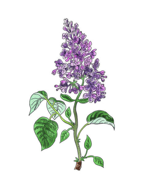 Botanic Painting - Lilac Flower Watercolor by Irina Sztukowski
