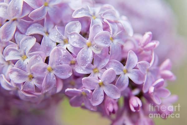 Photograph - Lilac Love by Karin Pinkham