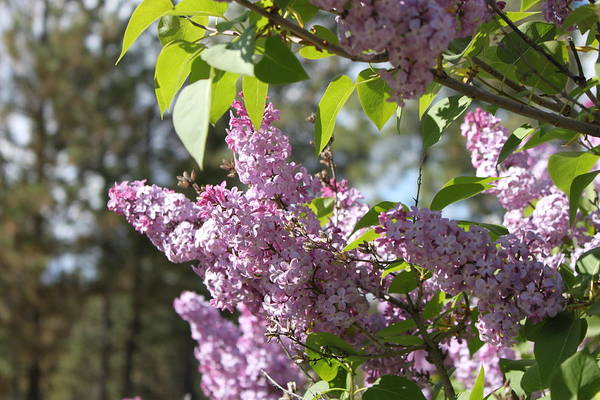 Photograph - Lilacs 5545 by Antonio Romero