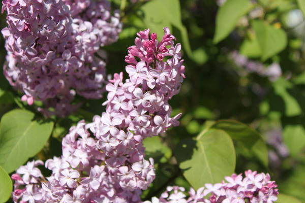 Photograph - Lilacs 5552 by Antonio Romero