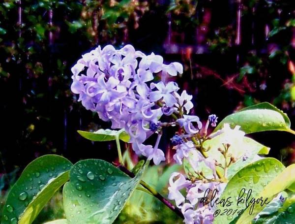Photograph - Lilacs by Deleas Kilgore