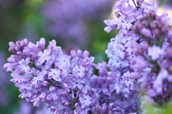 Photograph - Lilacs by Diana Haronis