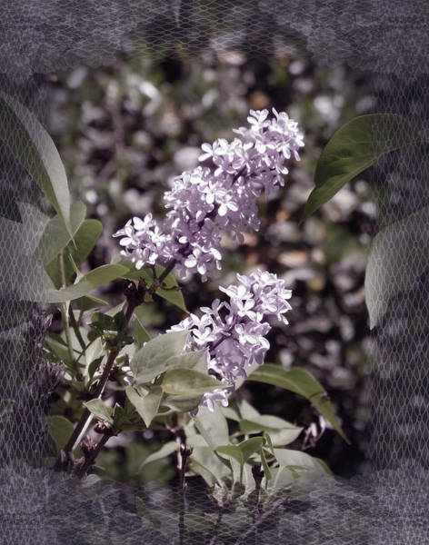 Lilac Photograph - Lilacs In Lace by Laura Iverson