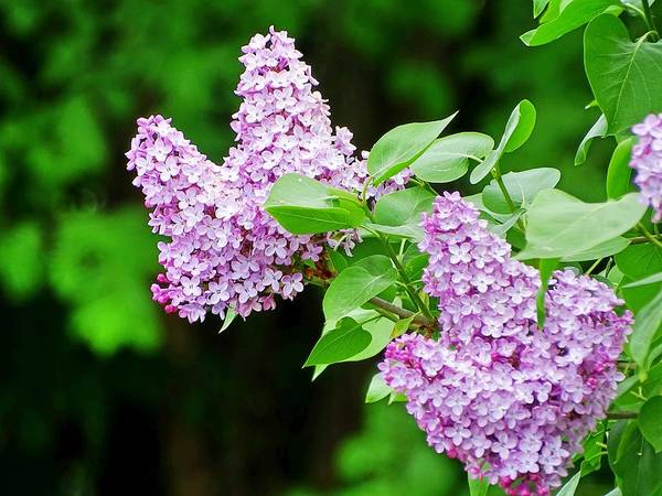 Photograph - Lilacs by Mhiss Little