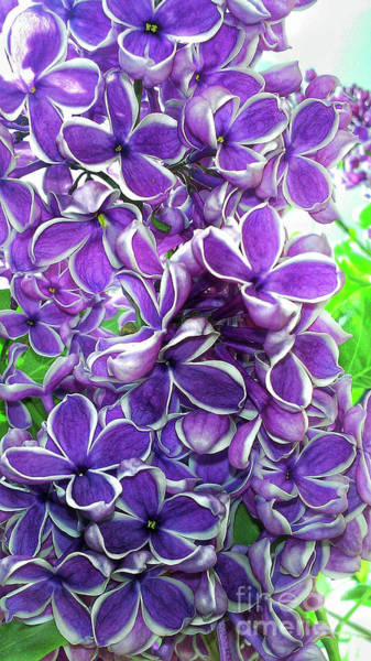 Photograph - Lilacs by Tony Baca