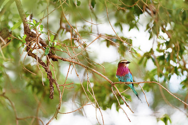 Wall Art - Photograph - Lilc Breasted Roller Bird In Tree by Susan Schmitz