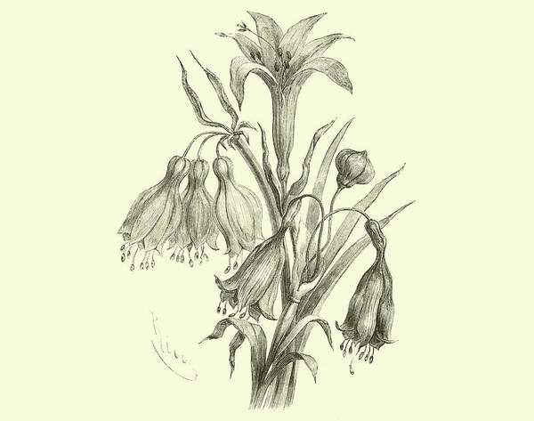 Lily Drawing - Liliaceae Of Sacsahuaman, Amaryllis Aurea, Crinum Urceolatum, Pancratium Recurvatum by Edouard Riou