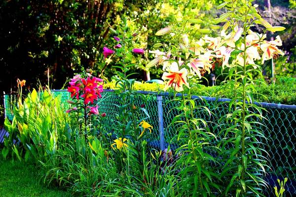 Photograph - Lilies By The Fence by Cynthia Guinn