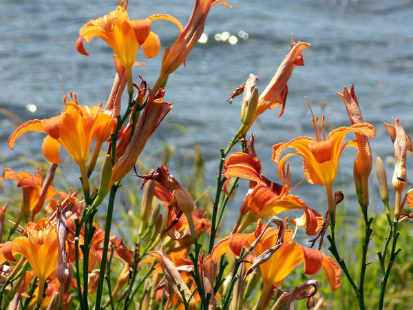 Madawaska Lake Photograph - Lilies By The Lake by William Tasker