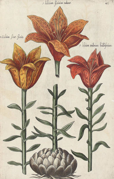Bulb Drawing - Lillies by Emanuel Sweert