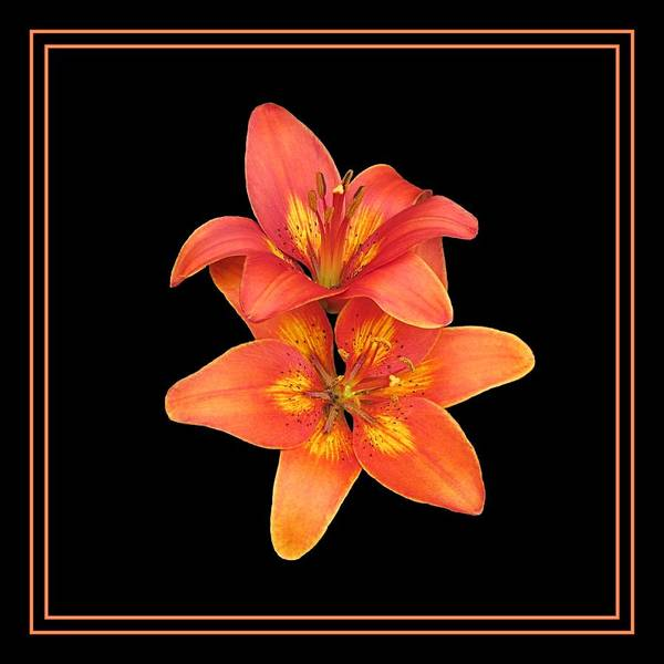 Digital Art - Lillies On Black by Doug Morgan