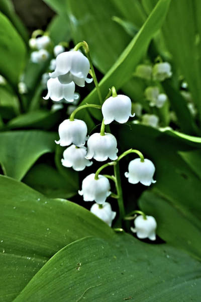 Photograph - Lilly Of The Valley Flowers by Jeremy Hayden