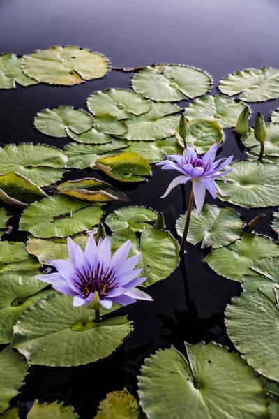 Photograph - Lilly Pads And Purple Flowers  by Sven Brogren