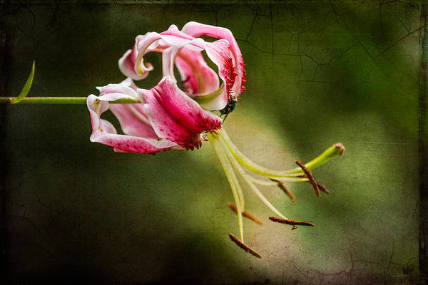 Photograph - Lily by Clare Bambers