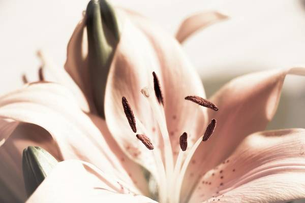 Photograph - Lily Flower by Cristina Stefan