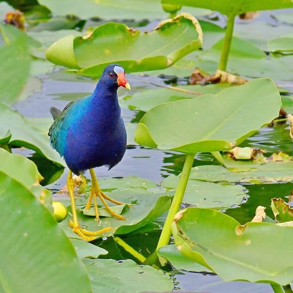 Photograph - Lily Hopper - Purple Gallinule, Everglades by KJ Swan