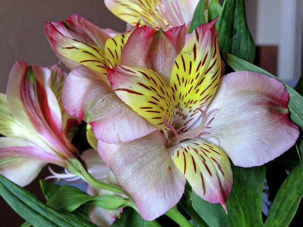 Photograph - Lily In North Light by Lynda Lehmann