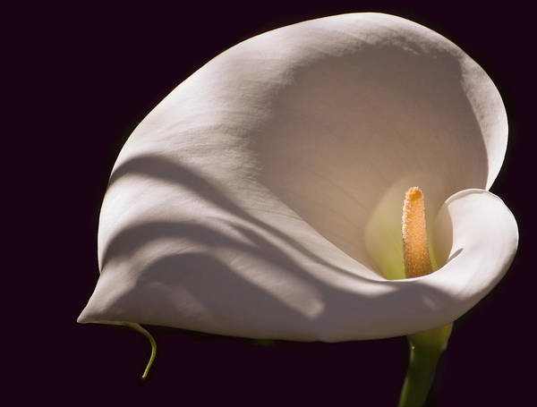 Photograph - Lily In Shadows by Mick Burkey