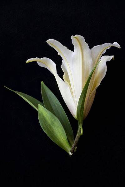 Floristry Photograph - Lily by Marie Carr