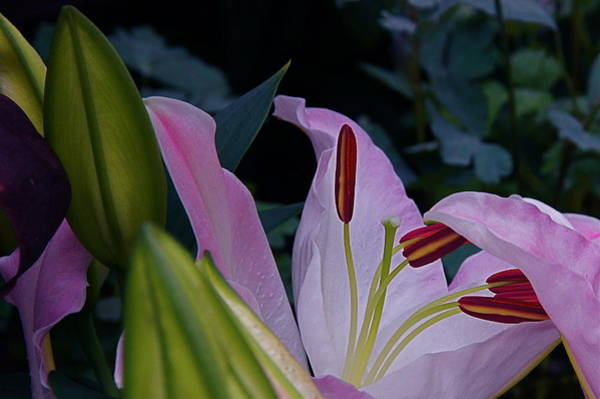 Photograph - Lily Nocturne by Byron Varvarigos