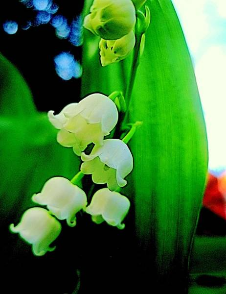 Photograph - Lily Of The Valley Abstract 2 by Beth Akerman