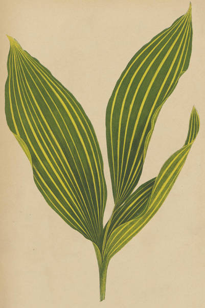 Leaf Venation Wall Art - Painting - Lily Of The Valley by English School