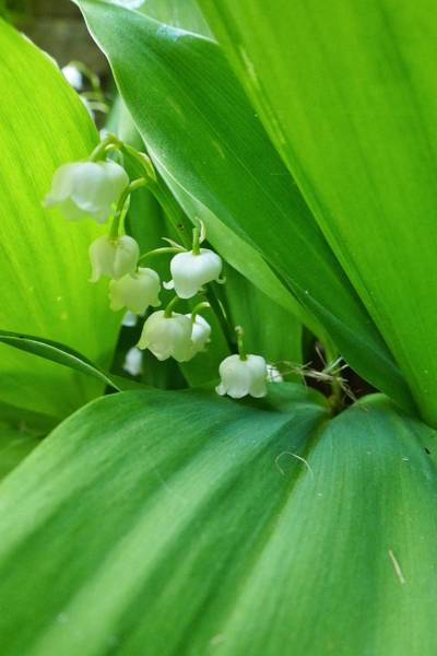 Photograph - Lily Of The Valley by Jeremy Hayden