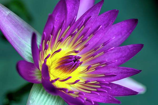 Photograph - Lily On The Water by Brad Granger