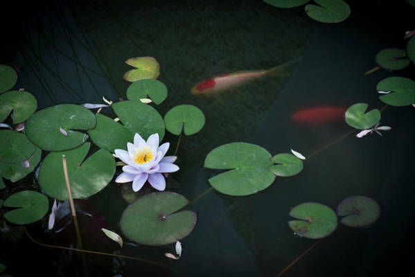 Photograph - Lily Pad Flower And Koi by Mary Lee Dereske
