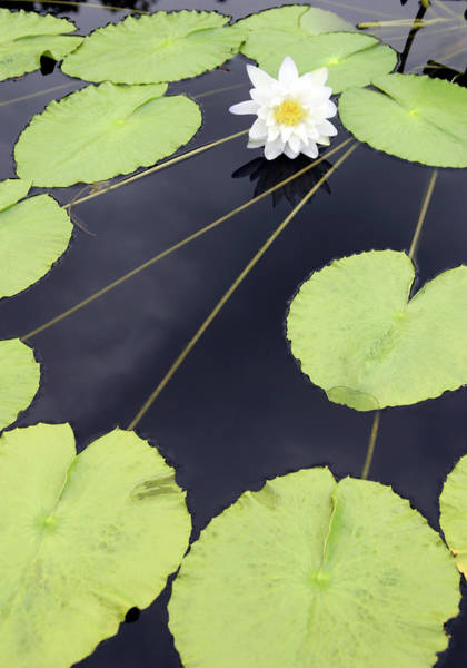 Photograph - Lily Pad Perspective 4821 H_2 by Steven Ward