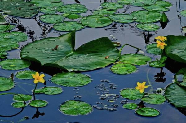 Wall Art - Photograph - Lily Pad Pond by Frozen in Time Fine Art Photography