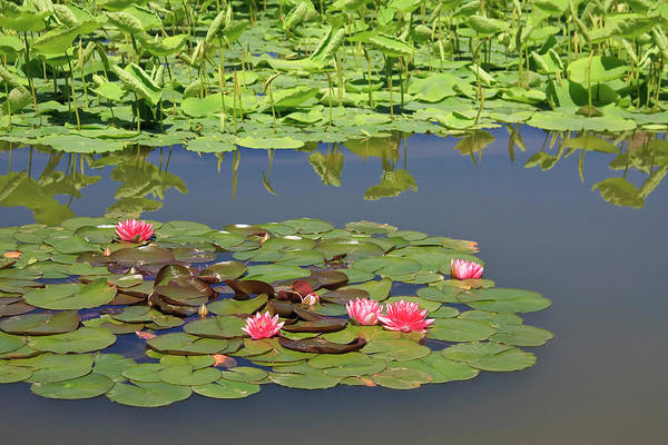 Photograph - Lily Pads by Jill Lang